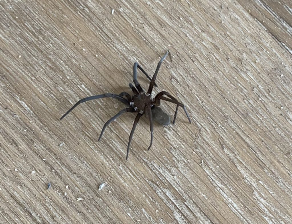 Southern house spider Kukulcania hibernalis large brown and black spider with white leg bands found by Kevin in Wilmington South Carolina