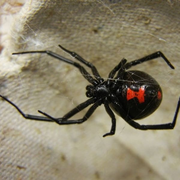 Latrodectus – Black Widow Spider