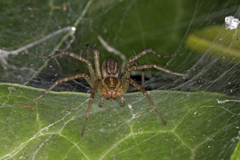 Agelenopsis American grass spider closeup shot eye pattern fangs and legs large brown spider found in New Jersey by Rich