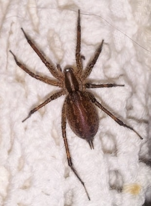 Agelenopsis spider in the USA