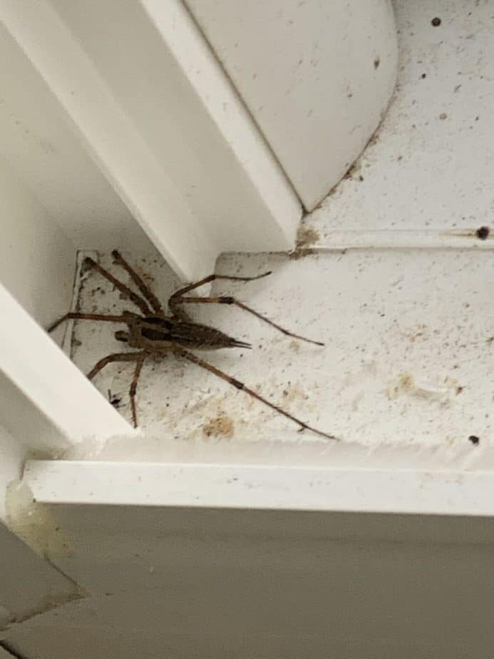 American grass spider agelenopsis large spider long spikes at back spinnerets with dark stripes in USA