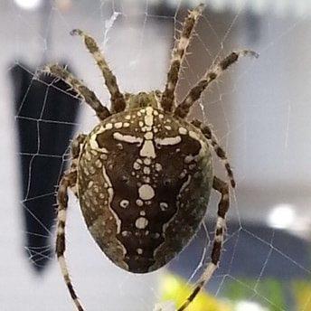 Araneus diadematus - European Garden spider