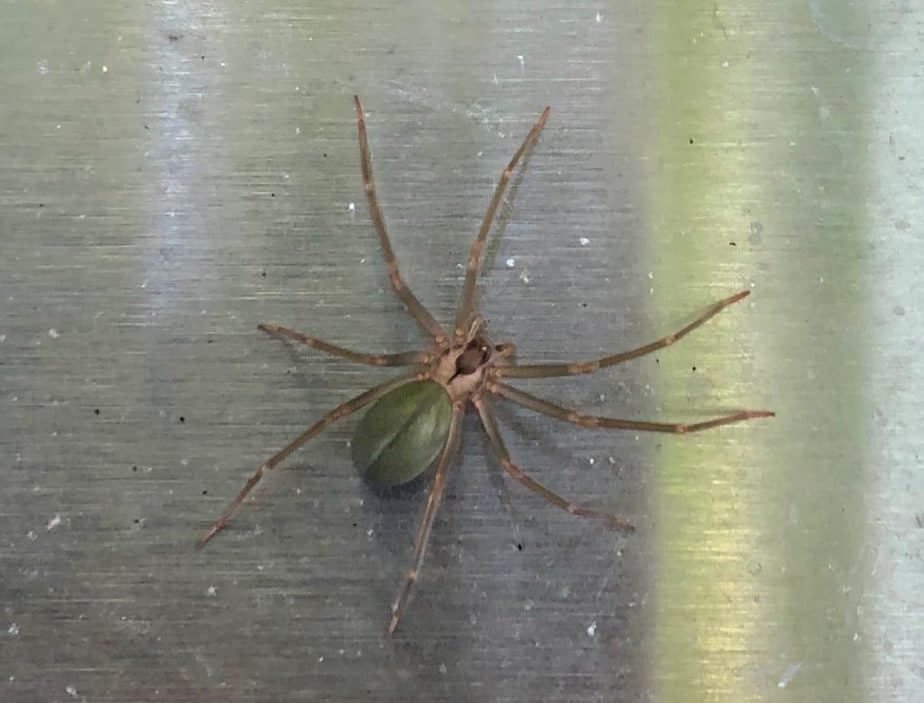 Brown recluse with greenish abdomen in Tennessee