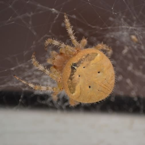 Cat-faced orb weaver spider