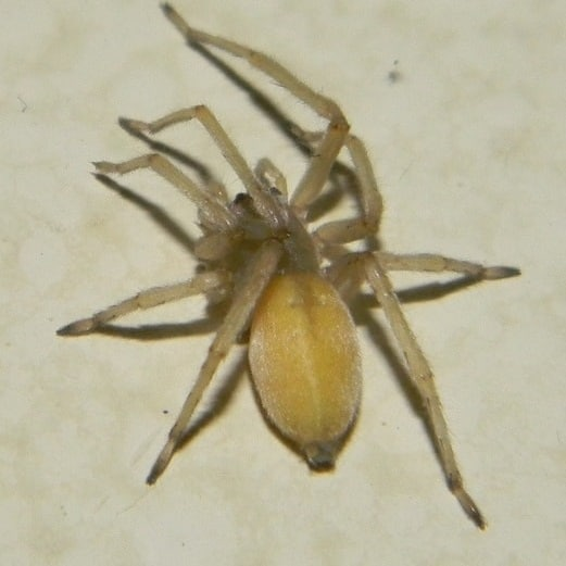 Cheiracanthium Mildei – Northern Yellow Sac Spider
