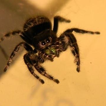 Phidippus audax – Daring Jumping Spider