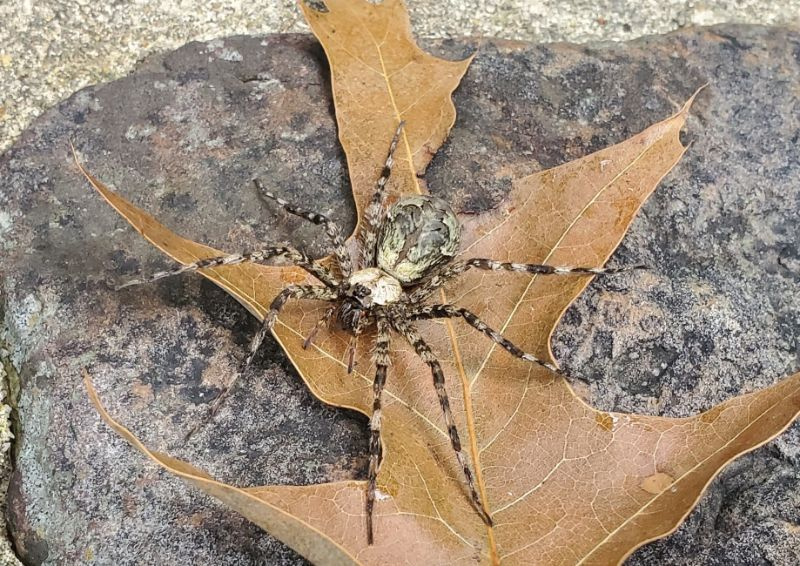 Dolomedes albineus white-banded fishing spider