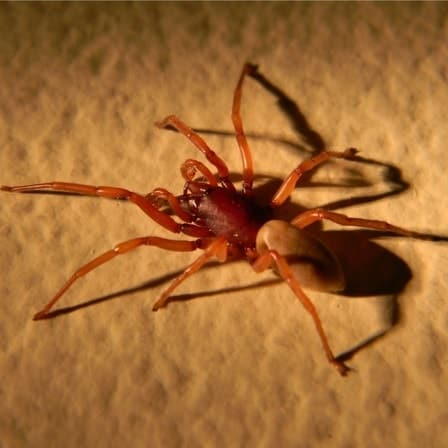 Dysdera Crocata – Woodlouse Spider