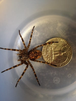 Fishing Spider size compared to a coin