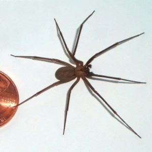 Loxosceles reclusa - brown recluse spider full body picture