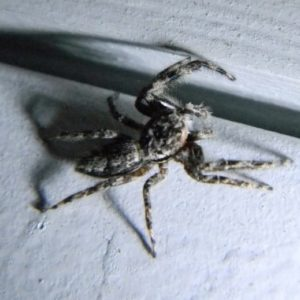 Menemerus Bivittatus - Grey Wall Jumper