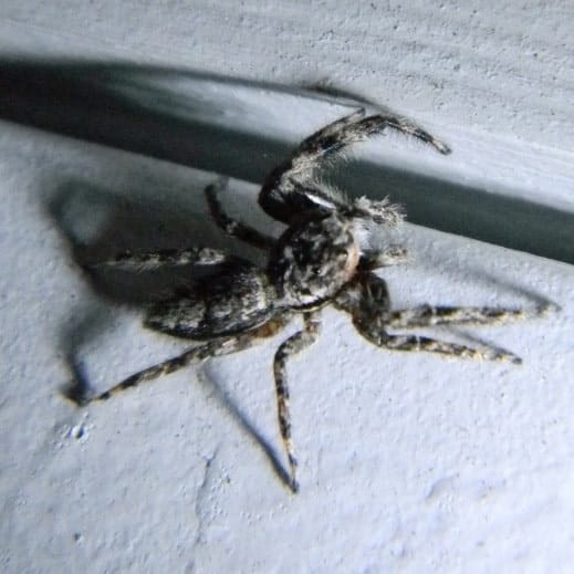 Menemerus Bivittatus – Gray Wall Jumper