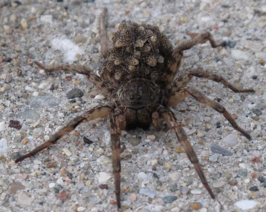 North American wolf spider