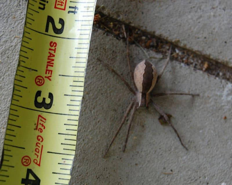 Nursery Web Spider USA