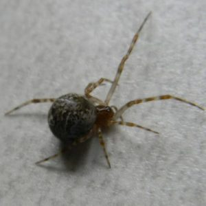 Parasteatoda Tepidariorum the common house spider