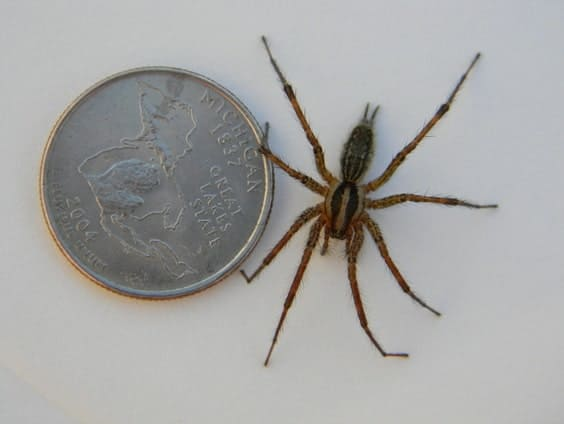 Photo of the size of an american grass spider