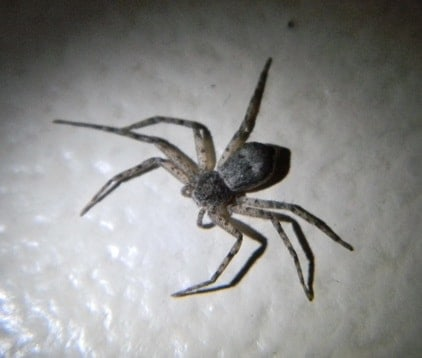 Picture of Philodromus - Running Crab Spider