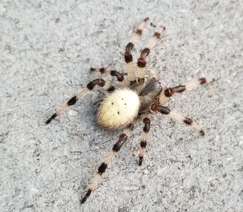 Shamrock orb weaver from new hampshire