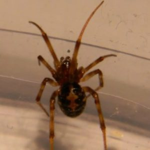 Steatoda triangulosa triangulate cobweb spider picture