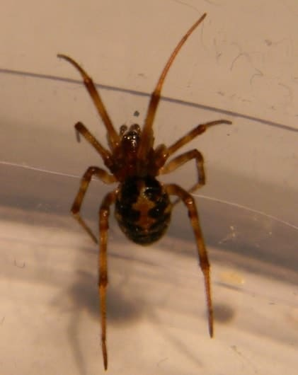Steatoda triangulosa triangulate cobweb spider
