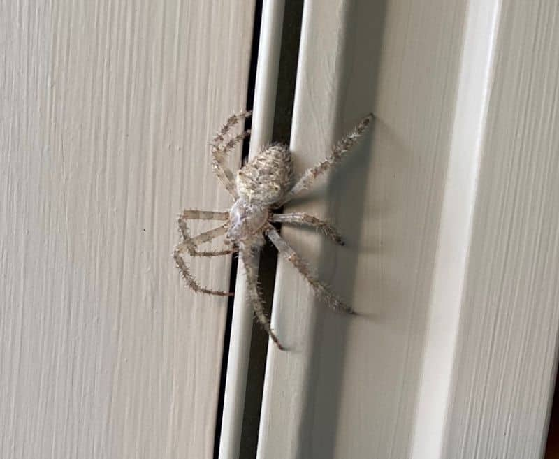 White grey Cat-faced spider orb weaver in Vermont