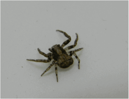 Xysticus - Ground Crab Spider photo