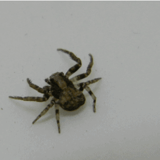 Xysticus – Ground Crab Spider
