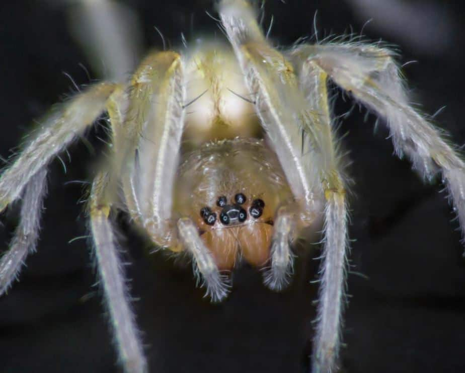 Yellow sac spider closeup eye pattern face fangs Cheiracanthium mildei