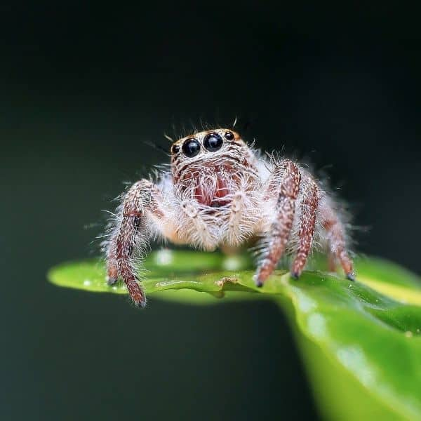 Peppermint Oil Spray for Spiders