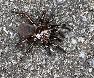 Ummidia – Trap-Door Spider