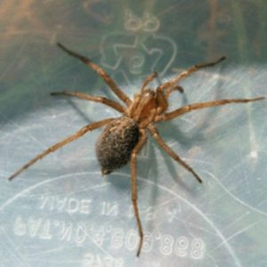 Female Hobo Spider