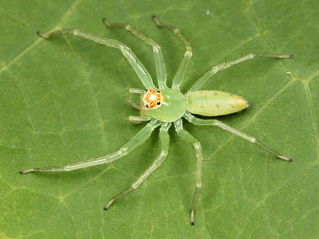 Lyssomanes Viridis - Mangolia Green Jumper