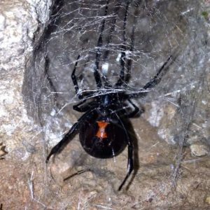 Latrodectus hesperus Western black widow spider venomous spiders in the United States