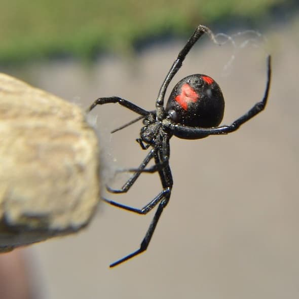 Latrodectus mactans - Southern black widow