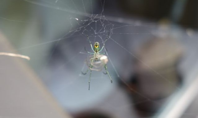 Leugauge venusta orchard spider with web and prey seen from bottom
