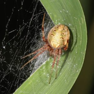 Neoscona arabesca Arabesque orbweaver in the United States