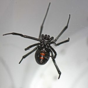 Northern black widow latrodectus variolus