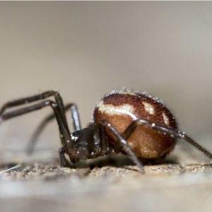 Steatoda Grossa - Cupboard Spider or False black widow