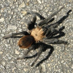 Texas brown tarantula on the street in texas size around 4 inches leg span
