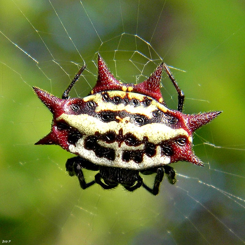 Gasteracantha Cancriformis – Spinybacked Orb Weaver