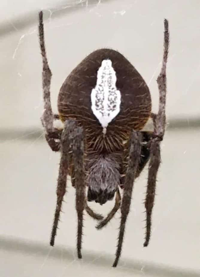 Tropical orb weaver dark brown with white marking on back in web
