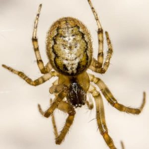 zygiella x-notata missing sector orb weaver information