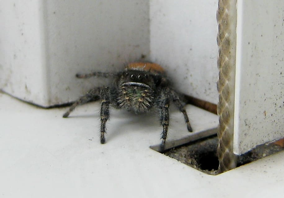 Red backed jumping spider iredescent chelicerae jaws