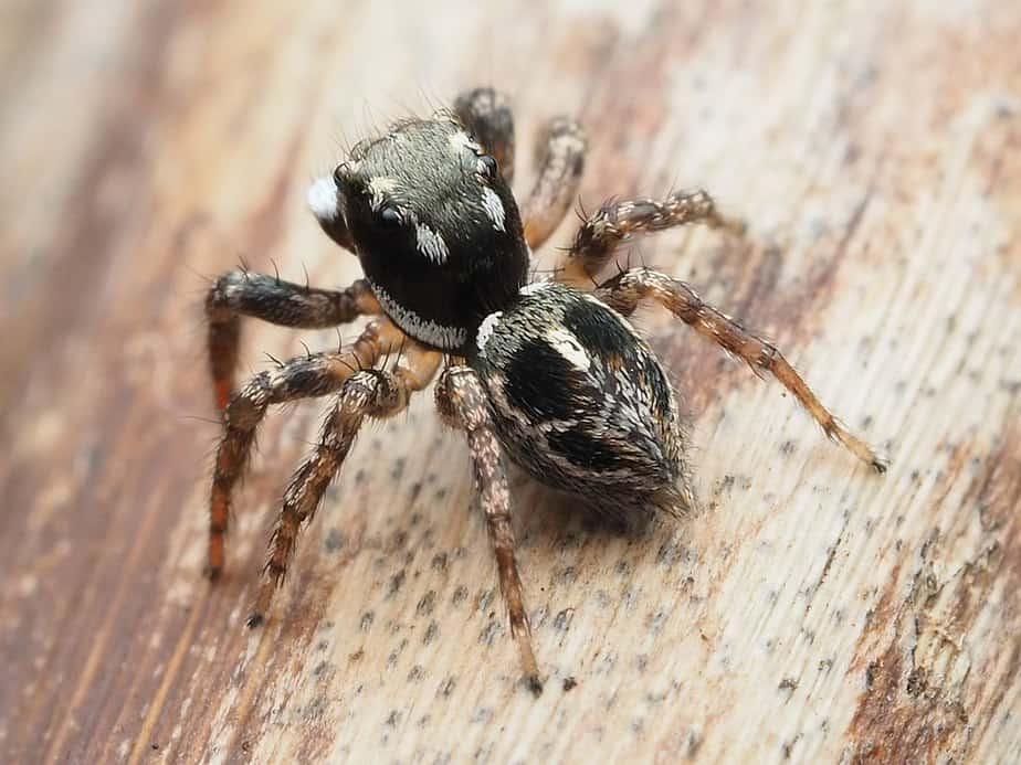 Anasaitis caonsa jumping spiders in the USA