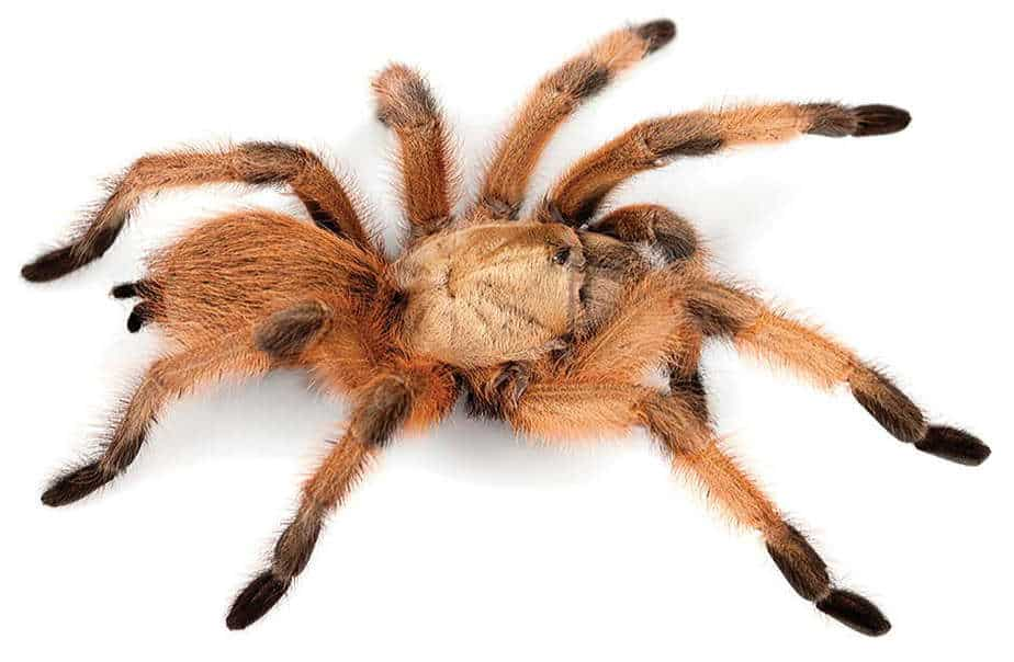 Aphonopelma moderatum female found in Southern Texas