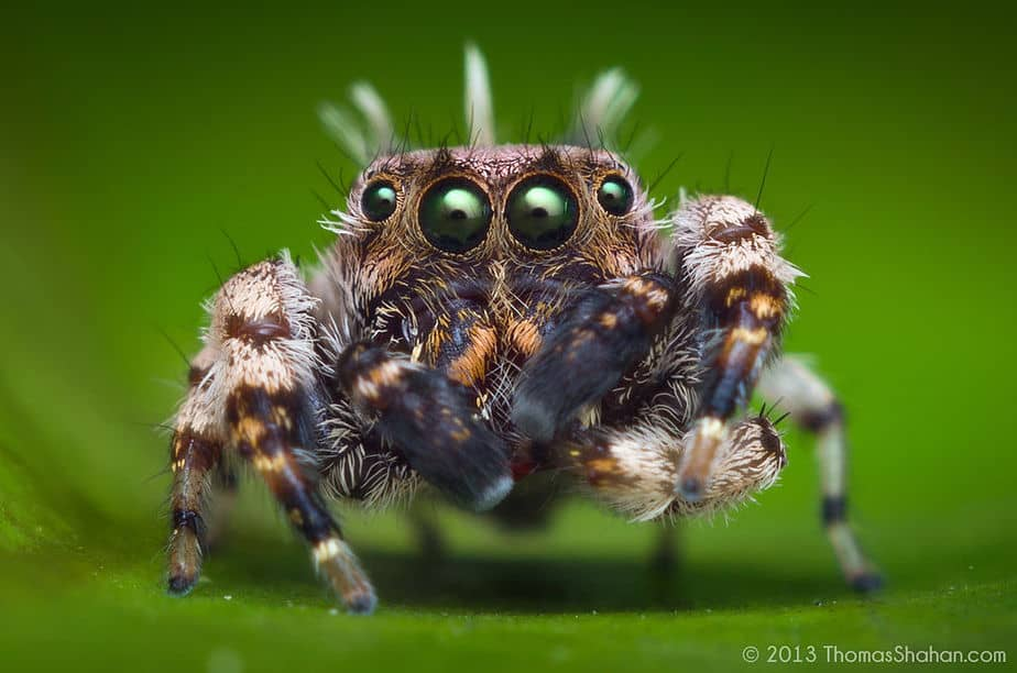 Adult male beata sp jumping spider
