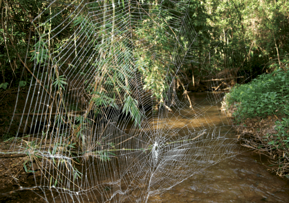 Caerostris darwini largest spider web in the world