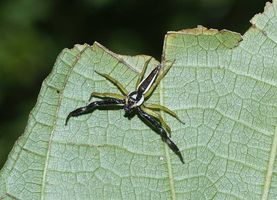 Epocilla calcarata jumping spider on leaf in Hawaii
