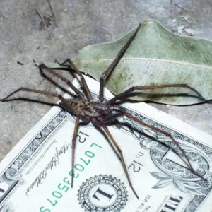 Eratigena atrica or duellica long legs brown size comparison with dollar