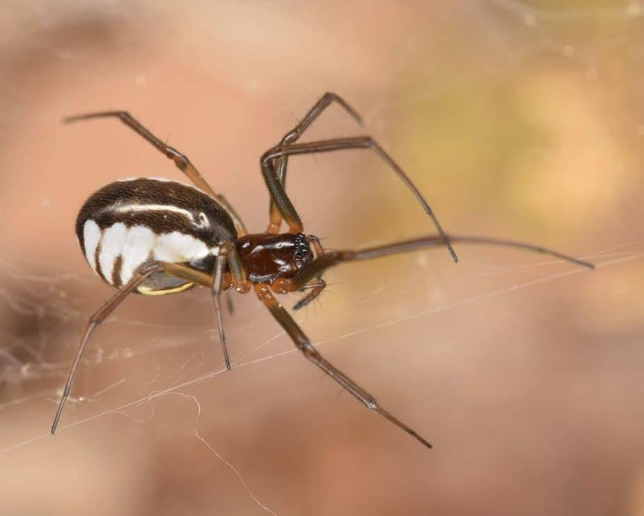 Female bowl and doily spider. Small spider with thin legs and white black and yellow abdomen